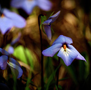 Blue Flowers Photos - Pretty Blues by Thomas Young