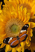 Yellows Posters - Pretty butterfly on sunflowers Poster by Garry Gay