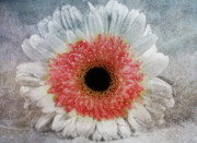 Floral Still Life Mixed Media Prints - Pretty Gerbera Macro Print by Zeana Romanovna