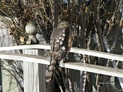 Red Tail Hawk Art - Pretty Hawk by Yumi Johnson