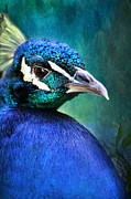 Vibrant Feathers Posters - Pretty in Blue Poster by Darren Fisher