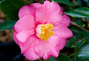 Camellia Photos - Pretty in Pink 2 by Rich Franco