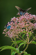 Swamp Milkweed Photos - Pretty in Pink by Charlie Choc