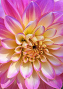 Flower Photographs Prints - Pretty in Pink Dahlia Print by Kathy Yates