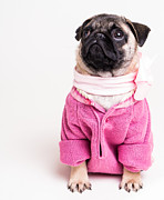 Pug Framed Prints - Pretty In Pink Framed Print by Edward Fielding