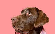 Chocolate Labrador Retreiver Prints - Pretty in pink Print by Gord Patterson