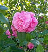 Patricia Taylor - Pretty in Pink