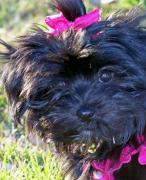 Maltese Photos - Pretty in Pink by Shawna Nickel