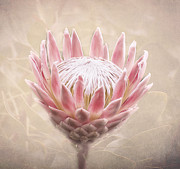 Proteaceae Posters - Pretty in Pink Telopea Poster by Paul and Fe Photography Messenger