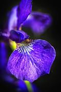 Sandra Bronstein - Pretty in Purple