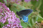 Pipevine Swallowtail Butterfly Prints - Pretty On Pink Print by Randy Bodkins