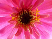 Zinna Photos - Pretty on the Inside by Jeanette Oberholtzer