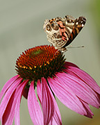 Vanessa Cardui Prints - Pretty Painted Lady Butterfly On Conflower Print by Kathy Clark