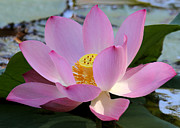 Hawaiian Pond Prints - Pretty Pink Lotus Print by Sabrina L Ryan