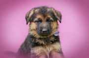 Shepherds Posters - Pretty Puppy Poster by Sandy Keeton