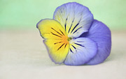 Yellow Flower Posters - Pretty Purple And Yellow Pansy Poster by Susan Gary
