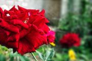 Dumindu Shanaka - Pretty Red Rose