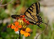 Wild Wings Metal Prints - Pretty swallowtail Metal Print by David Lee Thompson