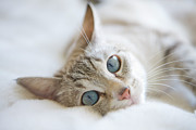 Domestic Animals Posters - Pretty White Cat With Blue Eyes Laying On Couch. Poster by Marcy Maloy