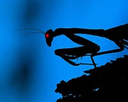 Praying Mantis Photos - Preying On Dreams by Patrick Witz