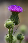 Magental Flowers Prints - Prickley Bull Thistle Wildflowers - Cirsium vulgare  Print by Kathy Clark
