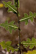 Hairy Stem Prints - Prickly Lettuce (lactuca Serriola) Print by Bob Gibbons