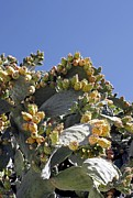 Figs Prints - Prickly Pear Cacti (opuntia Sp.) Print by Carlos Dominguez