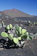 Lanzarote Prints - Prickly Pear Cactus Print by Dirk Wiersma