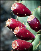 Cactus Fruit Prints - Prickly Pear III Print by Diane Wood