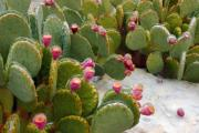 Pear Art - Prickly Pear on Ice by Robert Anschutz