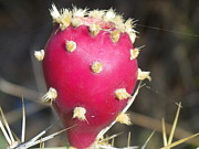 Ripe Photo Originals - Prickly Pear by Vito Geerman