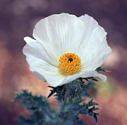 Wildflower Originals - Prickly Poppy by Bill Morgenstern