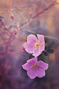 "\""flower Texture\\\"" Photos - Prickly Rose by Priska Wettstein"