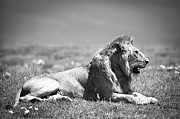 Lion Art - Pride in Black and White by Sebastian Musial