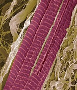 False-colour Framed Prints - Primate Finger Muscle, Sem Framed Print by Steve Gschmeissner