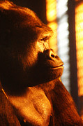 Ape. Great Ape Prints - Primate Reflecting Print by Scott Hovind