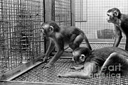 Harlow Prints - Primate Research Print by Science Source