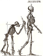 Orang-utan Prints - Primate Skeletons Print by Sheila Terry