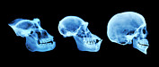 Evolutionary Biology Prints - Primate Skulls Print by D. Roberts