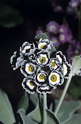 Primula Auricula Photos - Primrose hawkwood Flowers by Adrian Thomas