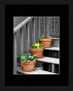 Primroses Digital Art - Primrose Pots On Gray by Brooke Chao