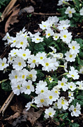 Primroses Photo Metal Prints - Primroses Metal Print by Adrian Thomas