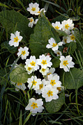 Primroses Photo Metal Prints - Primroses (primula Vulgaris) Metal Print by Dr Keith Wheeler