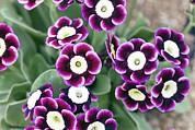 Primula Auricula Photos - Primula Auricula dusky Maiden by Dr Keith Wheeler