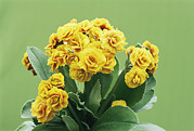 Primula Auricula Photos - Primula Auricula golden Hind by Archie Young