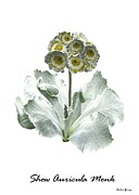 Primula Auricula 'monk' Print by Archie Young