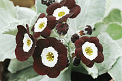 Primula Auricula Photos - Primula Auricula the Snods by Archie Young