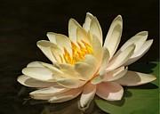 Sabrina L Ryan - Pristine Water Lily