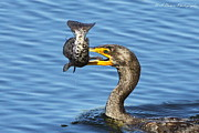 Phalacrocorax Auritus Prints - Prized catch Print by Barbara Bowen