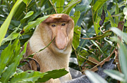 Primates Framed Prints - Proboscis Monkey Dominant Male Sabah Framed Print by Suzi Eszterhas